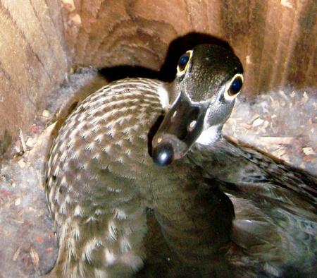 duckbox