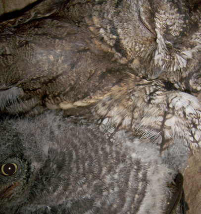 OwlsMarch