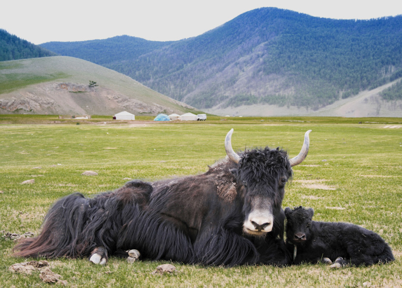 Yaks in the plains of Mongolia